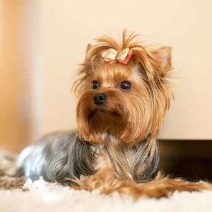 【記事販売】人気の犬「ヨークシャー・テリア」の紹介記事テンプレート(約100文字)