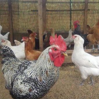おひさま自然鶏卵  有精卵 10個入 2パック