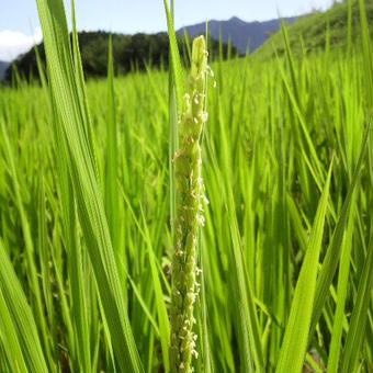 大分県産  イセヒカリ  玄米   新米 5kg