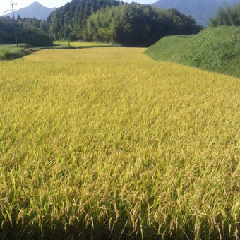 大分県産  イセヒカリ  玄米 新米 30kg