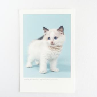 フォトカード_cat2(マンチカン)