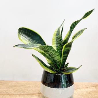 【観葉植物】  《  サンスベリア・ハニー 》