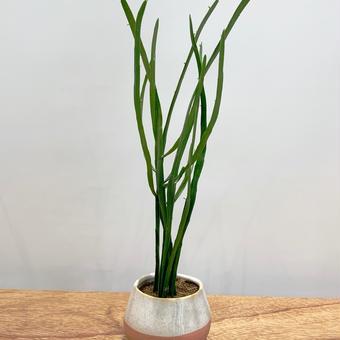 【観葉植物】  《 ユーロルビア・ヘラサンゴ 》