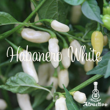 白く輝くかわいく美しい果実ハバネロホワイトの種