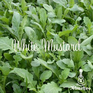 イタリア野菜のハーブ「ホワイトマスタード」の種