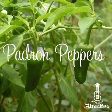 (予約販売)スペインのしし唐「パドロン」の苗