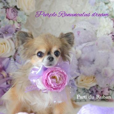 Purple Ranunculus dream