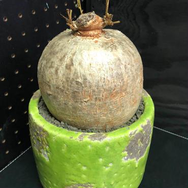 休眠明け まん丸塊根 イポメア ホルビー Ipomoea holubii 大株