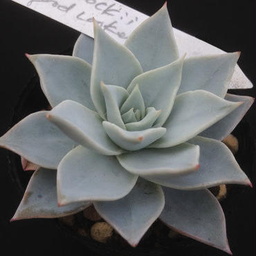 E.ピーコッキー グッドルッカー   Echeveria  peacockii  Good  Looker  (015)