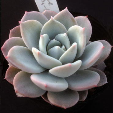 E. スウィートハート  Echeveria  Sweet Heart (laui x 碧牡丹)