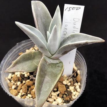 ランケオラータ  Dudleya lanceolata (098)