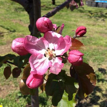中まで赤~いりんごお花見ツアー