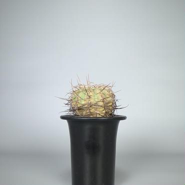 cactus / 光琳玉