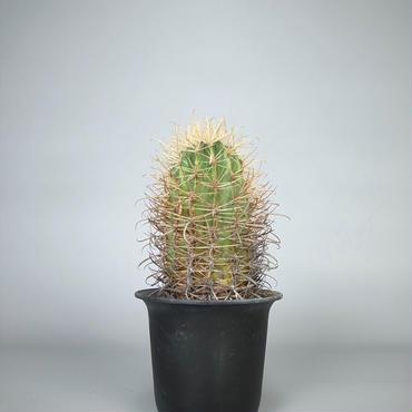 cactus / 金冠竜