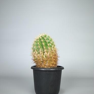 cactus / 王金鯱