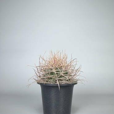 cactus / 鯱頭