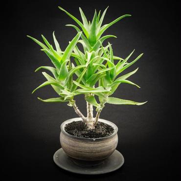 アロエ デラエティ Aloe hyb.'delaetii'