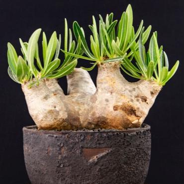 パキポディウム イノピナツム  Pachypodium rosulatum var. inopinatum