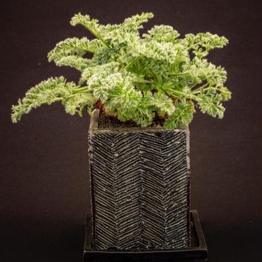 ペラルゴニウム・アペンディクラツム Pelargonium appendiculatum