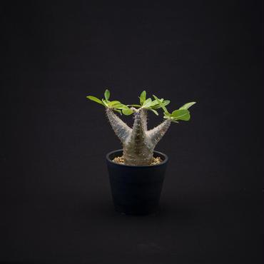 パキポディウム カクチペス Pachypodium rosulatum var. cactipe
