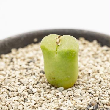 コノフィツム オフタルモ Ophthalmophyllum