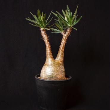 パキポディウム グラキリス.1 Pachypodium rosulatum var.gracilius