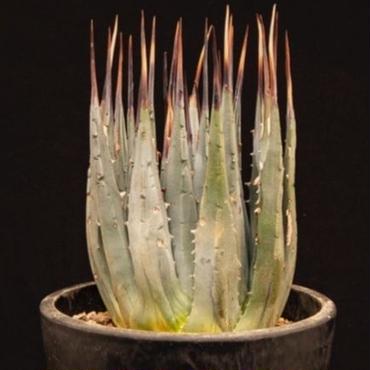 アガベ ユタエンシス エボリスピナ.3  Agave uthaensis var. eborispina