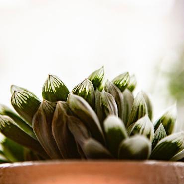ハオルチア ピリフェラ錦 Haworthia cooperi var pilifera variegata