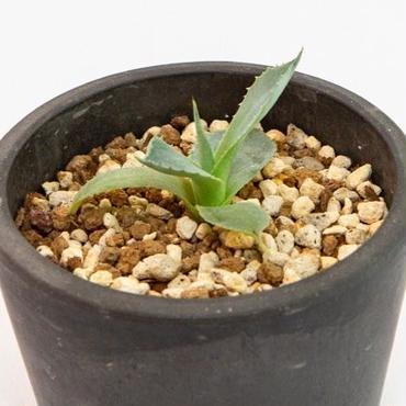 アガベ 風来神  Agave potatorum variegata 'Huuraijin'