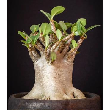 アデニウム アラビクム ブラックダイヤモンドクラウン Adenium arabicum Black Diamond Crown