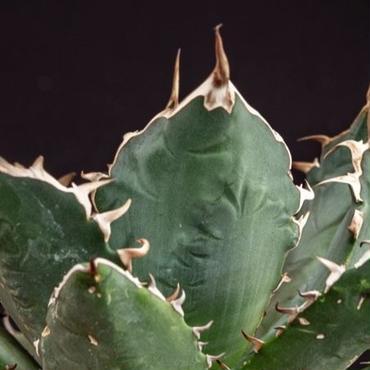 アガベ チタノタ.3  Agave titanota
