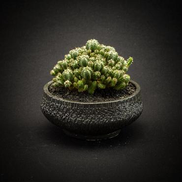 ユーフォルビア エノプラヒール.2 Euphorbia