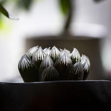 ハオルチア 黒玉露.20 Haworthia