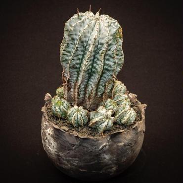 ユーフォルビア ホリダ(群生) Euphorbia horrida var. zebrina