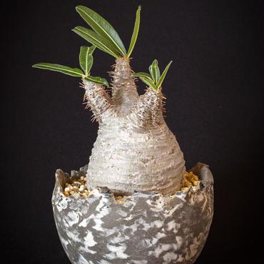 パキポディウム グラキリス.6 Pachypodium rosulatum var.gracilius