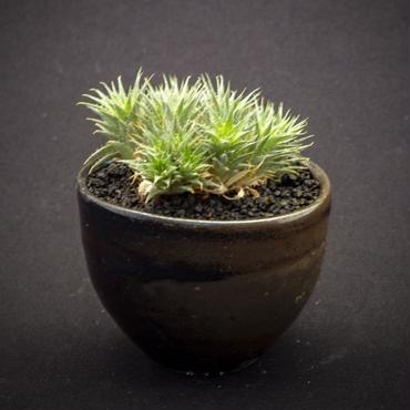 デウテロコニア ブレビフォリア ssp. クロランサ Deuterocohnia brevifolia ssp. chlorantha