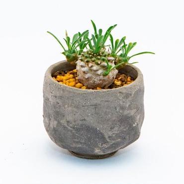 ユーフォルビア・峨眉山.1 Euphorbia 'Gabisan'