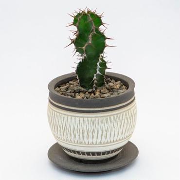 ユーフォルビア クーペリー Euphorbia cooperi