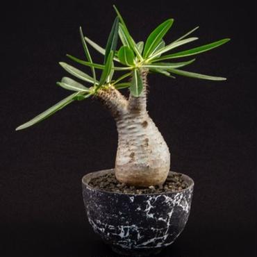 パキポディウム グラキリス.2   Pachypodium rosulatum var.gracilius