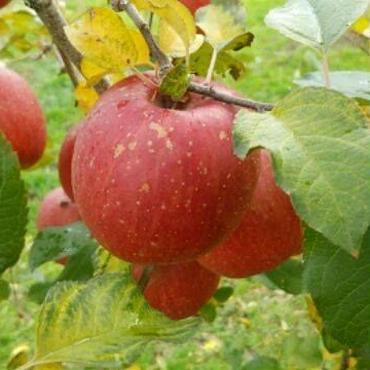 【りんご】さんさ(約3kg)家庭用