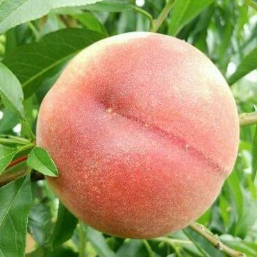 【上とろ】糖度18度以上の桃!約1キロ!