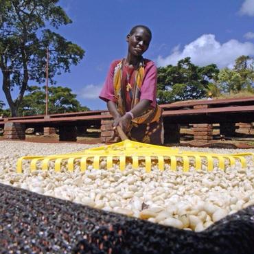 """タンザニア・『タンザニア・ブラックバーン農園 """"ピーベリー""""』  [やや深炒り]"""