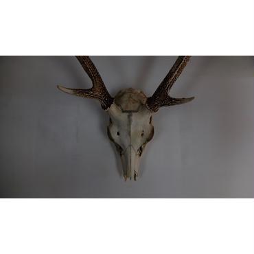 Hunting trophies (Corner skull of deer)
