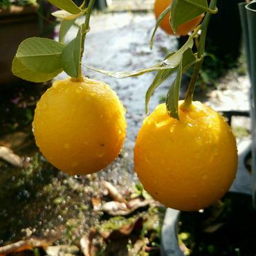 マイヤーレモンの苗 15cmポット