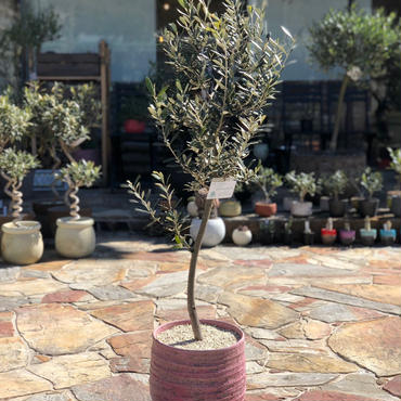 Manzanillo  × RHODOS  no.180302-1