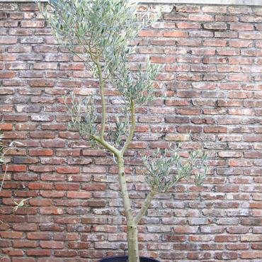 Lucca 13号鉢 no.170913-3 樹高約220cm  宅配便不可