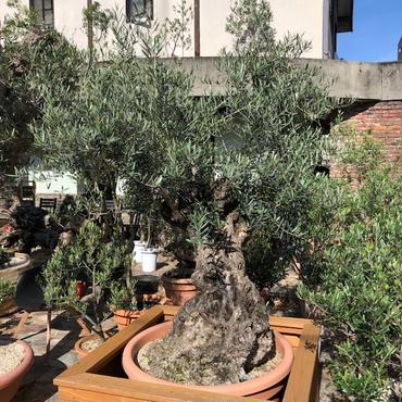 オリーブ古木  イタリア製樹脂鉢 no.180521