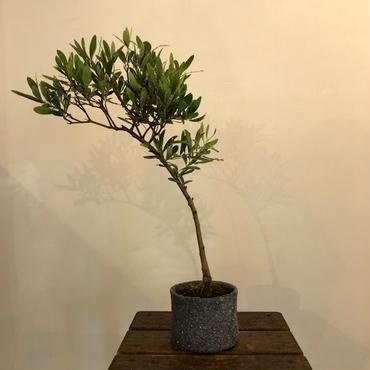 盆栽橄欖樹×芦澤和洋  Nevadillo blanco no.180620-4
