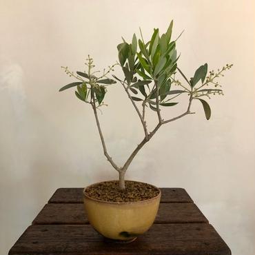 Olive×茶器  金茶器no.1
