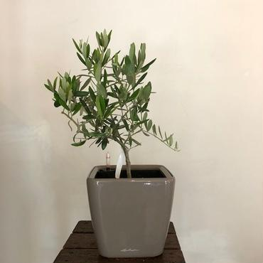 Cerignola. Lechuza(底面給水) no.1